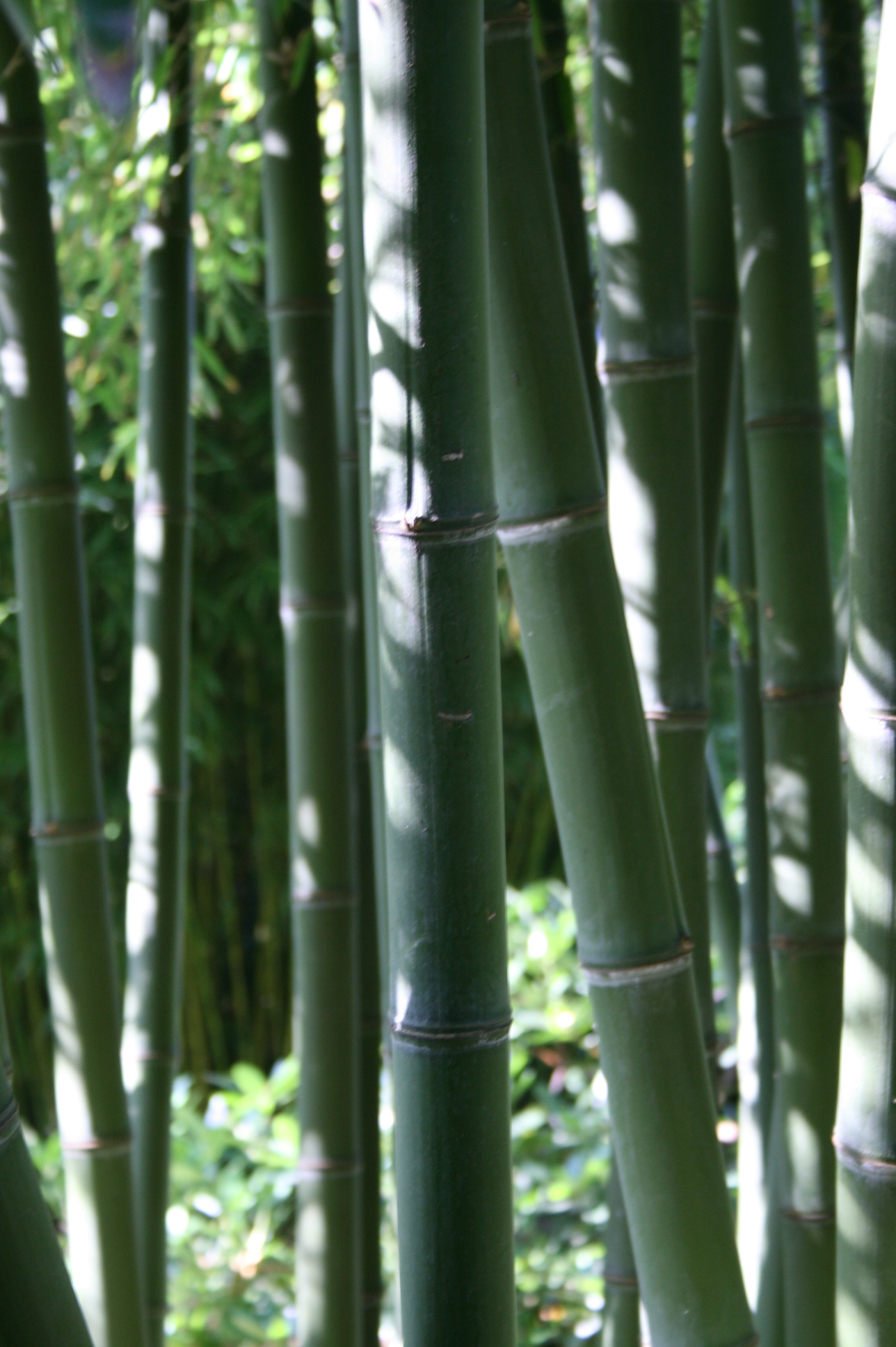 phyllostachys parvifolia phyllostachys bambus. Black Bedroom Furniture Sets. Home Design Ideas
