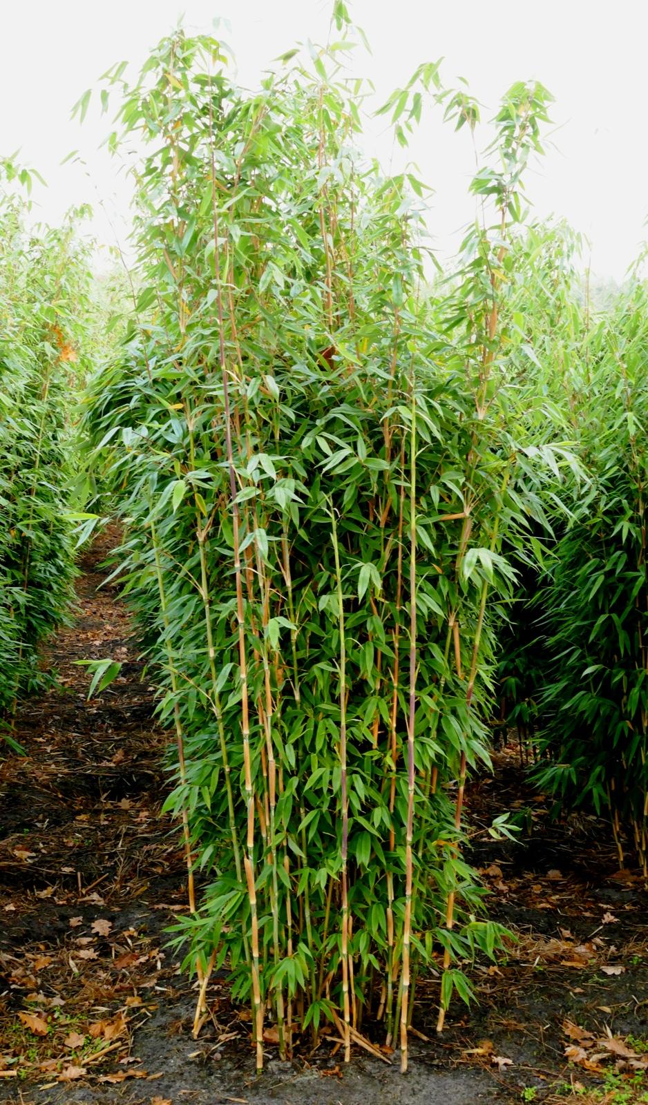 Bambus kaufen direkt aus der Familienbaumschule