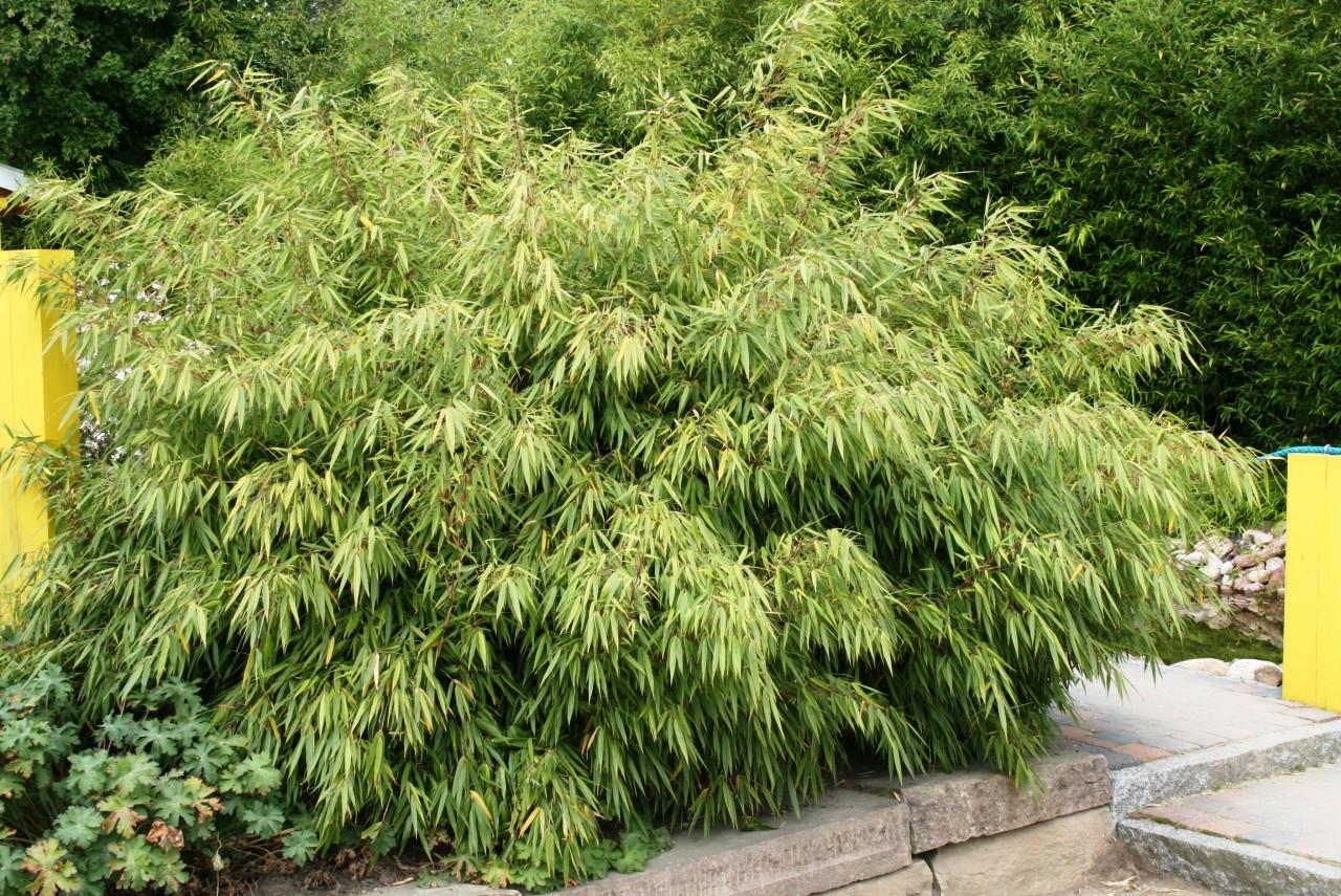 8 Stk Bambus Fargesia Rufa Winterhart Immergrun Und Schnell