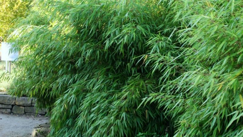 fargesia bambus ohne wurzelausl ufer. Black Bedroom Furniture Sets. Home Design Ideas