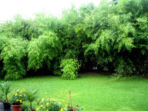 phyllostachys bissetii phyllostachys bambus. Black Bedroom Furniture Sets. Home Design Ideas